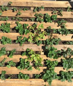 No Food Miles, No Plastics with Chef Dominique Rizzo's DIY Strawberry Planter Stand - the Strawberry planter